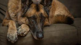 看照相机的德国牧羊犬狗 免版税库存图片