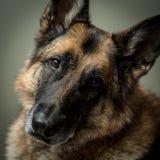 看照相机的德国牧羊犬狗 图库摄影