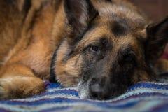 看照相机的德国牧羊犬狗 免版税库存照片