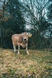 看照相机的母牛的画象 库存照片