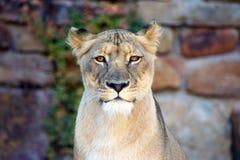 看照相机的母狮子 库存图片