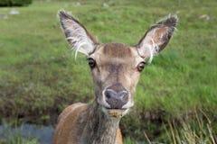 看照相机的母鹿 免版税库存图片
