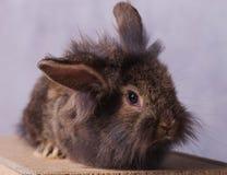 看照相机的毛茸的狮子头兔子兔宝宝 库存照片