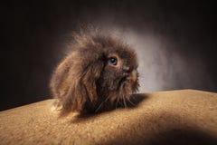 看照相机的毛茸的狮子头兔子兔宝宝 免版税库存图片