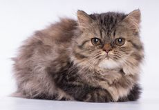 看照相机的波斯棕色猫隔绝在白色背景 免版税库存图片