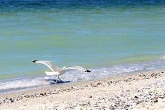 看照相机的海鸥岸 图库摄影