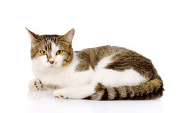 看照相机的混杂的品种猫 背景查出的白色 免版税库存图片