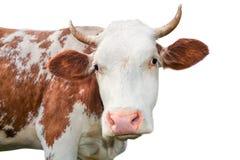 看照相机的滑稽的母牛隔绝在白色背景 与大口鼻部关闭的被察觉的红色和白色母牛 母牛画象分类 免版税库存图片