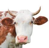 看照相机的滑稽的母牛隔绝在白色背景 与大口鼻部关闭的被察觉的红色和白色母牛 免版税图库摄影