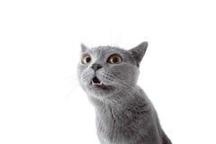 看照相机的灰色猫 背景查出的白色 免版税库存图片