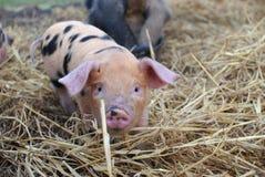 看照相机的牛津和桑迪黑小猪 免版税库存图片