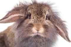 看照相机的狮子顶头兔子兔宝宝 库存图片