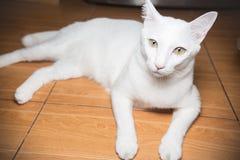 看照相机的白色暹罗猫 免版税图库摄影