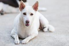 看照相机的白色狗画象 免版税库存图片