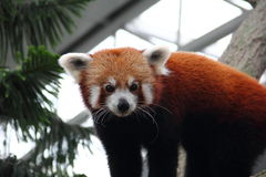 看照相机的红熊猫 库存图片