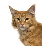 看照相机的缅因浣熊小猫的特写镜头 免版税库存照片