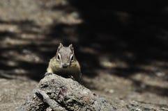 看照相机的花栗鼠 库存照片