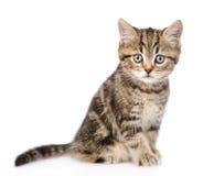 看照相机的苏格兰小猫 背景查出的白色 免版税图库摄影