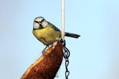 看照相机的蓝冠山雀 图库摄影