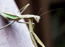 看照相机的螳螂 库存照片