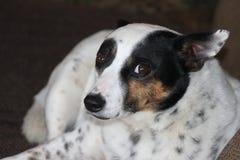 看照相机的被察觉的黑白狗 免版税库存图片