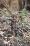 看照相机的豹子 免版税库存图片