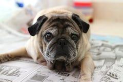 看照相机的逗人喜爱的哈巴狗狗的特写镜头图片 免版税库存图片