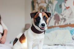 看照相机的逗人喜爱的小狗杰克罗素狗在卧室,在背景的家庭 图库摄影