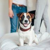 看照相机的逗人喜爱的小狗杰克罗素狗在卧室,在背景的家庭 免版税库存图片