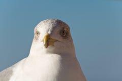 看照相机的逗人喜爱的海鸥 免版税图库摄影