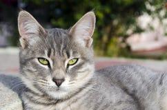 看照相机的逗人喜爱的灰色猫 免版税库存照片