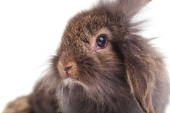 看照相机的逗人喜爱的狮子头兔子兔宝宝 免版税图库摄影