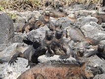 看照相机的鬣鳞蜥 库存图片