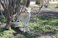 看照相机的鹿站立在树下 免版税库存照片