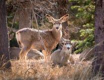 看照相机的鹿 免版税图库摄影