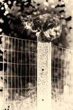 看照相机的龟甲母猫栖息在tw之间 图库摄影