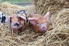 看照相机的2个小猪 免版税图库摄影