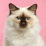 看照相机的Birman小猫的特写镜头 库存图片