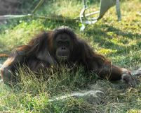 看照相机的Bornean猩猩 库存照片