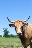 看照相机的Parthenais肉用牛的顶头射击 库存图片