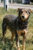 看照相机,友好的狗步行的逗人喜爱的哀伤的黑褐色狗 库存图片