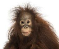 看照相机,类人猿pygmaeus的幼小Bornean猩猩 免版税库存图片