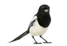 看照相机, 12点活字12点活字的共同的鹊,被隔绝 免版税库存照片