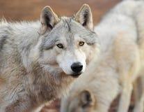 看照相机,黄石公园的北美灰狼, montan 免版税图库摄影