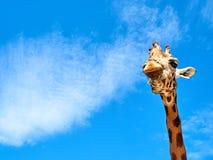 看特写镜头的长颈鹿前面画象 免版税库存照片