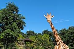 看特写镜头的长颈鹿前面画象 免版税库存图片