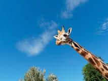 看特写镜头的长颈鹿画象 免版税库存照片
