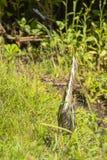 看牺牲者的少年绿色苍鹭舒展 免版税库存照片