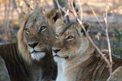 看狮子的夫妇  免版税库存图片
