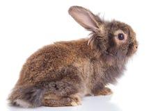 看狮子顶头兔子的兔宝宝  库存图片